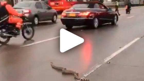 VIDEO | Boa constrictor en plena Carrera 30 en Bogotá