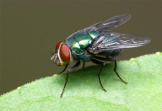 Las moscas también se emborrachan por penas de amor