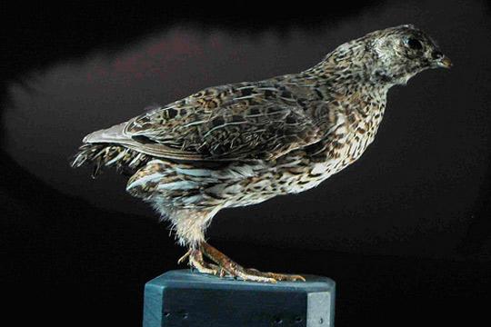 Codorniz de Nueva Zelanda, animales extintos