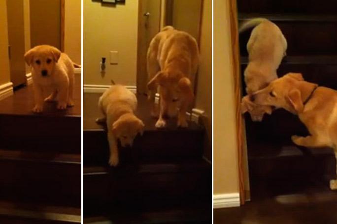 Perro le enseña a cachorro a bajar las escaleras