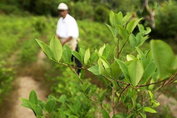 cultivos ilicitos,coca,