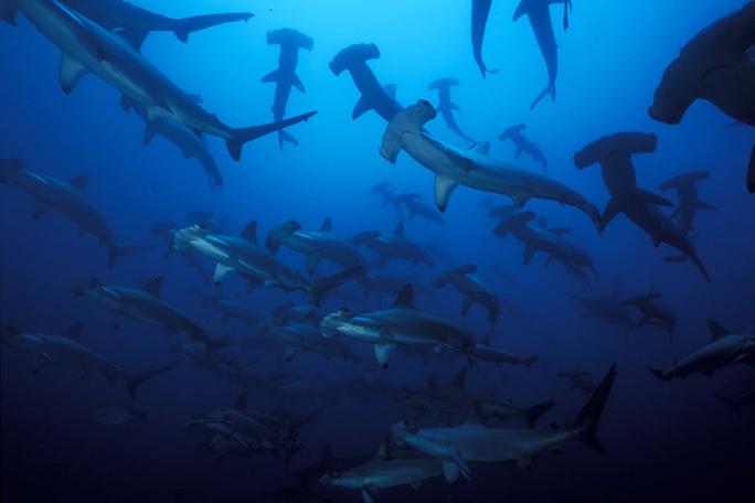 Tiburon martillo, kienyke