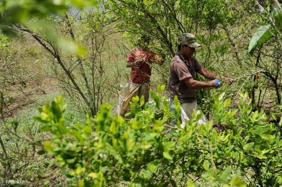 Coca, Cultivo, Campesino, Raspachines, Kienyke