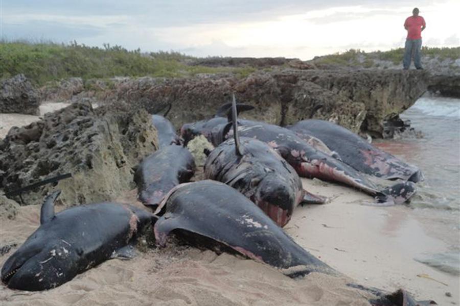 Varamiento de ballenas, Kienyke