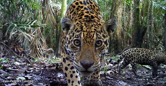 Jaguar Panthera Colombia