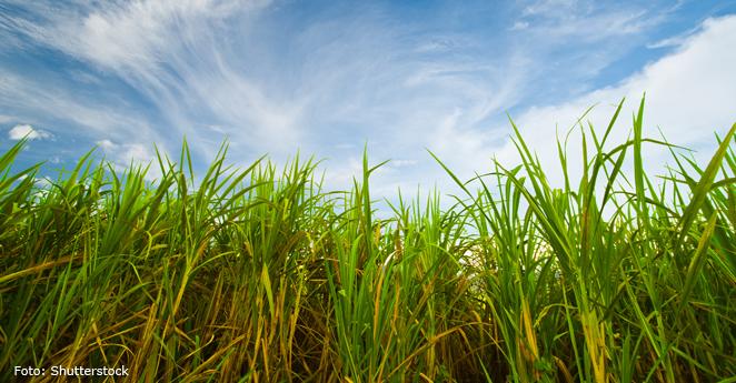 Agricultura caña de azucar