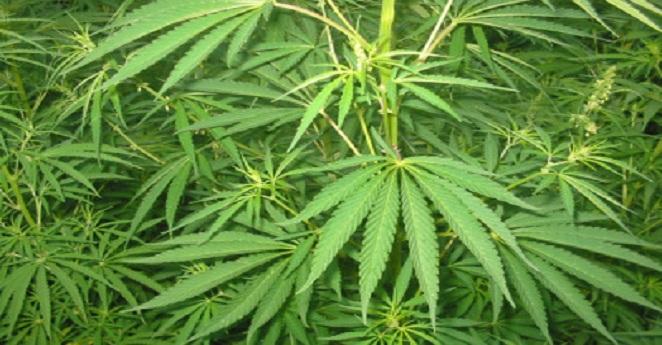En 4 días quedará regulado el uso de la marihuana para fines médicos