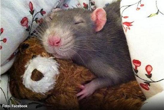 emprendiemiento-Ratas-mascotas-C