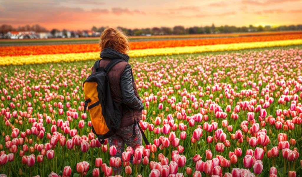 En esta época los tulipanes reverdecen a Holanda