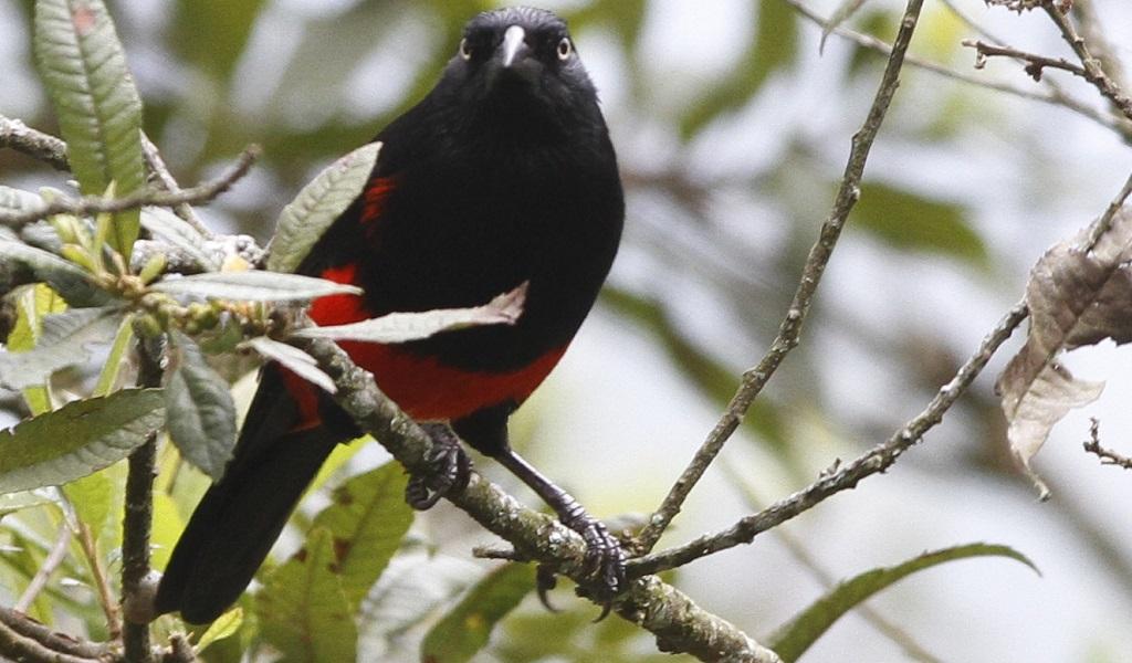Cacique Candela, ave endémica del Valle de Aburrá