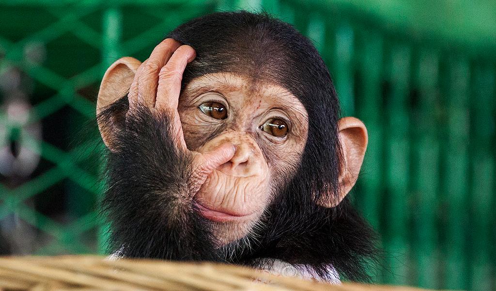 60% de los primates del mundo en vía de extinción