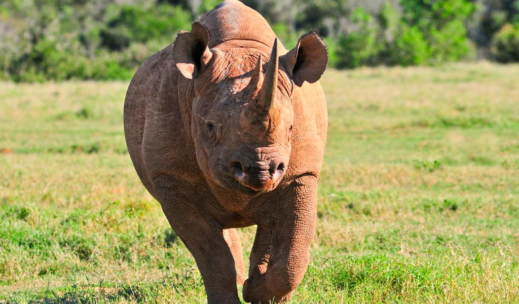 El regreso del rinoceronte negro a Ruanda