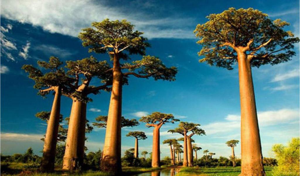El baobab, un activo natural para rejuvenecer la piel