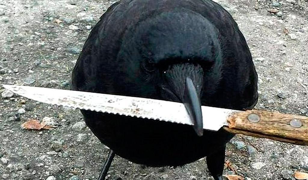 Canuck el peligroso cuervo con orden de captura en Canadá