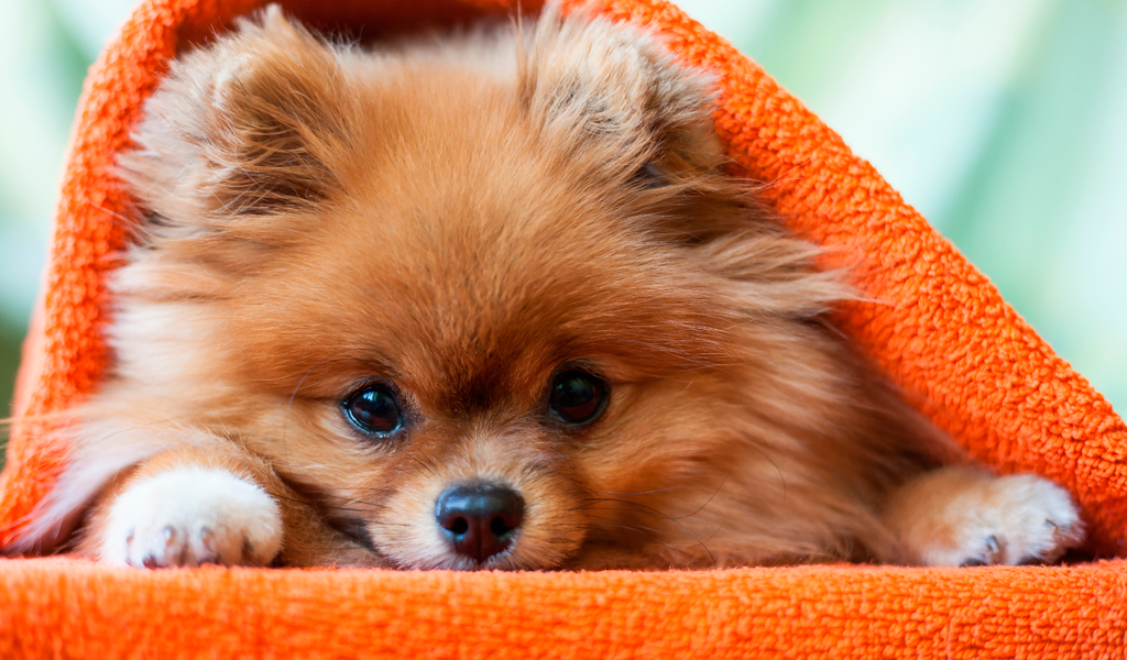 Estas son las razas de perros más pequeñas