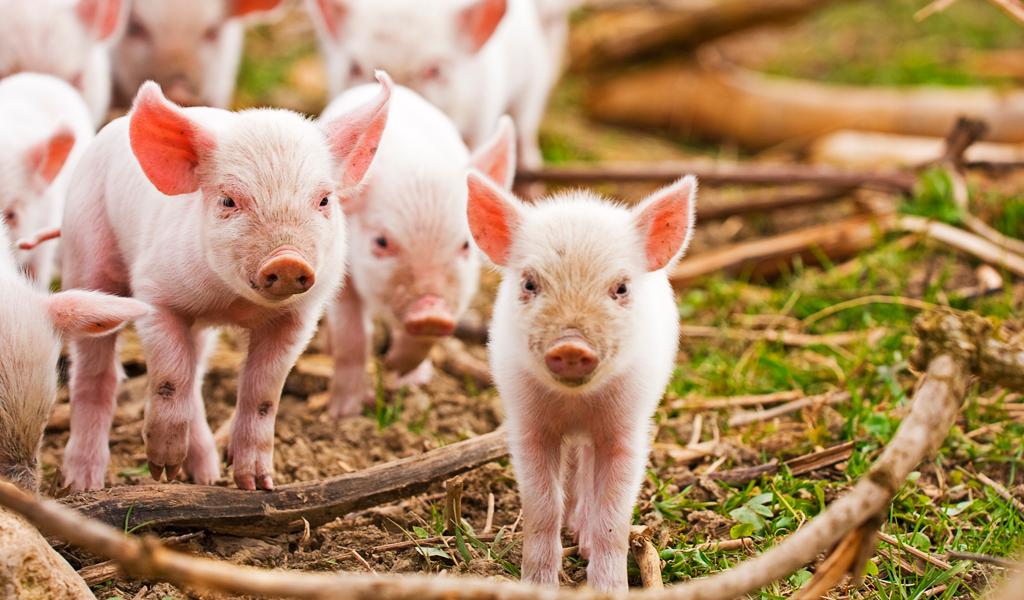 Cerdos miniatura, nueva tendencia en mascotas