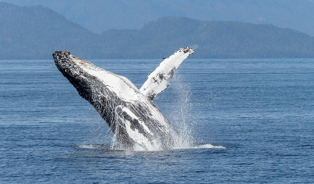 Llegan las ballenas al pacífico colombiano