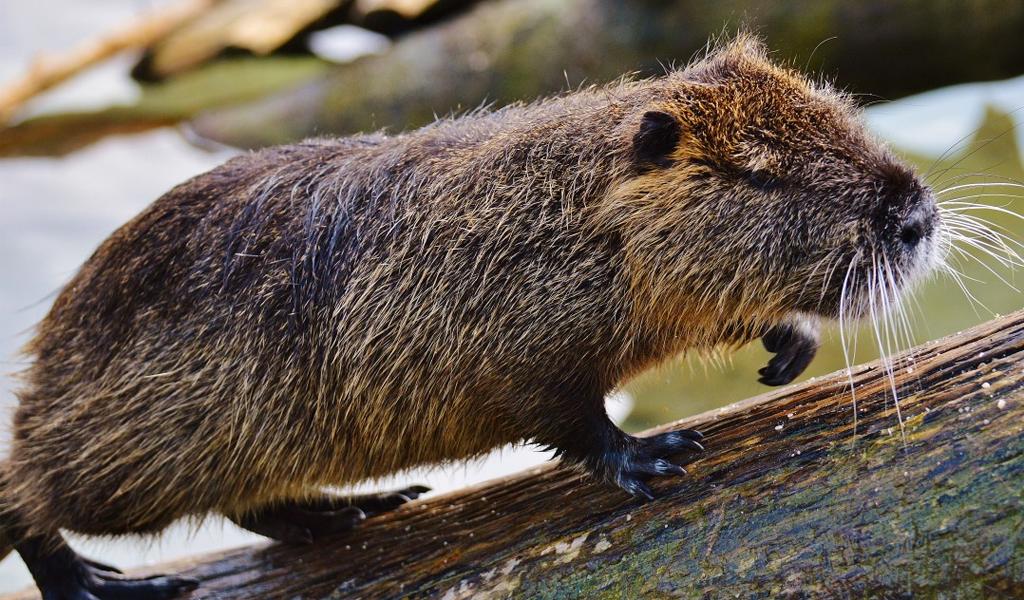 La importancia del castor para el medio ambiente