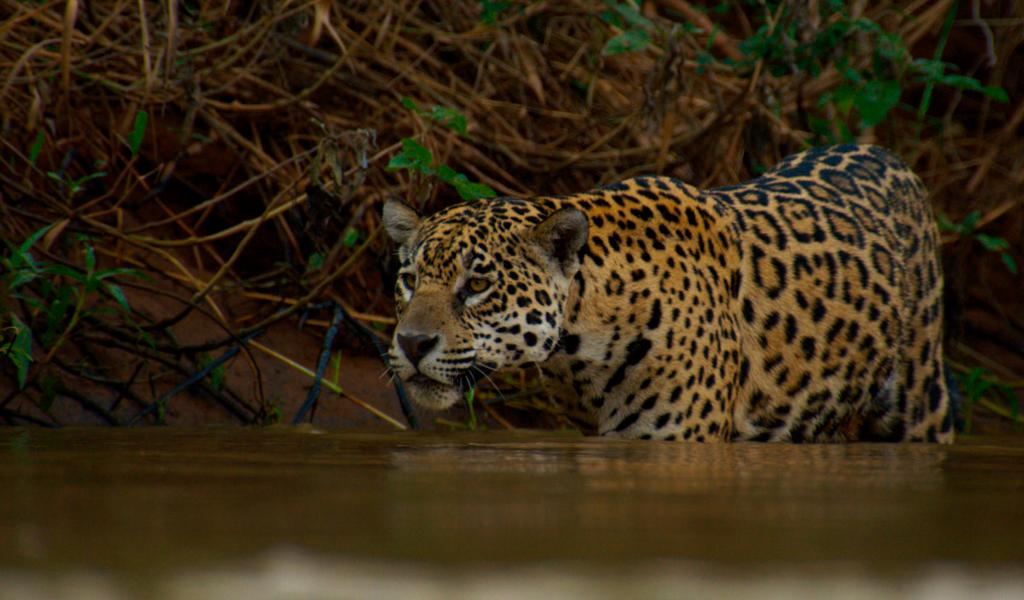 Revelan árbol genealógico de los jaguares