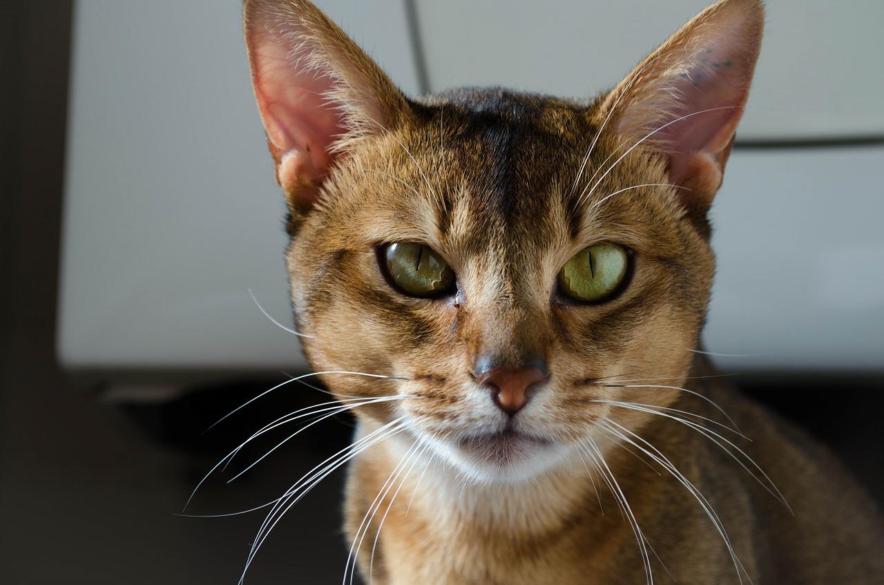 Las cinco razas de gatos más costosas del mundo