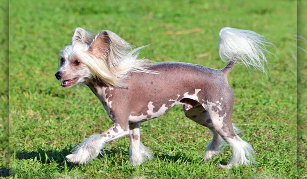 ¿Cuáles son las razas de perros más costosas?