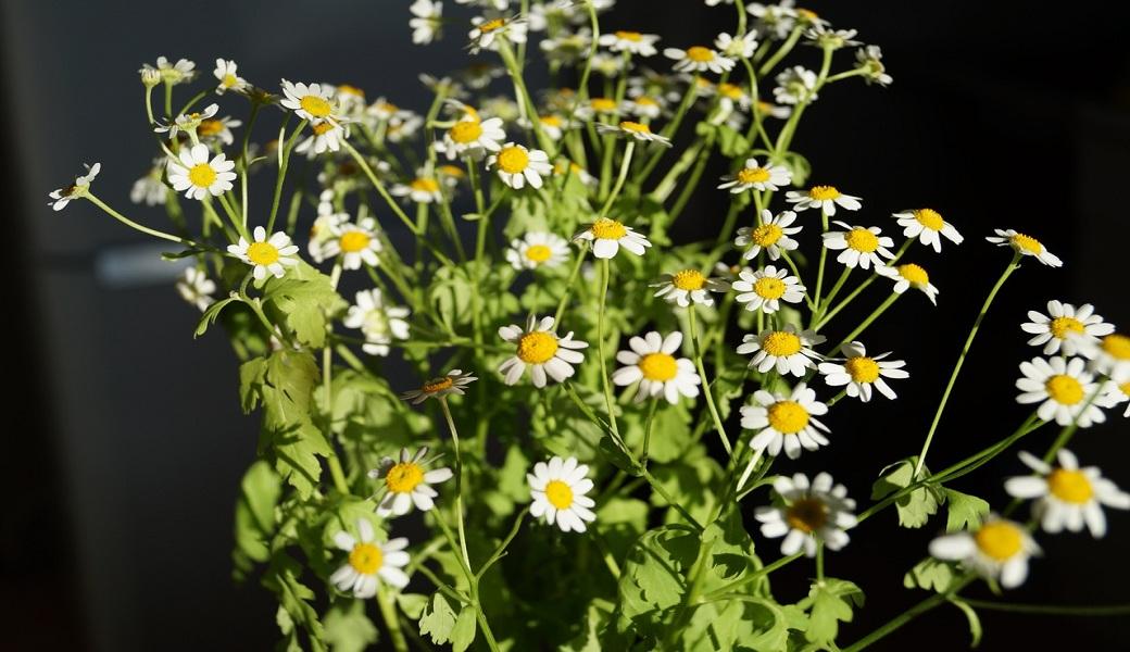 Manzanilla, una planta que hace maravillas