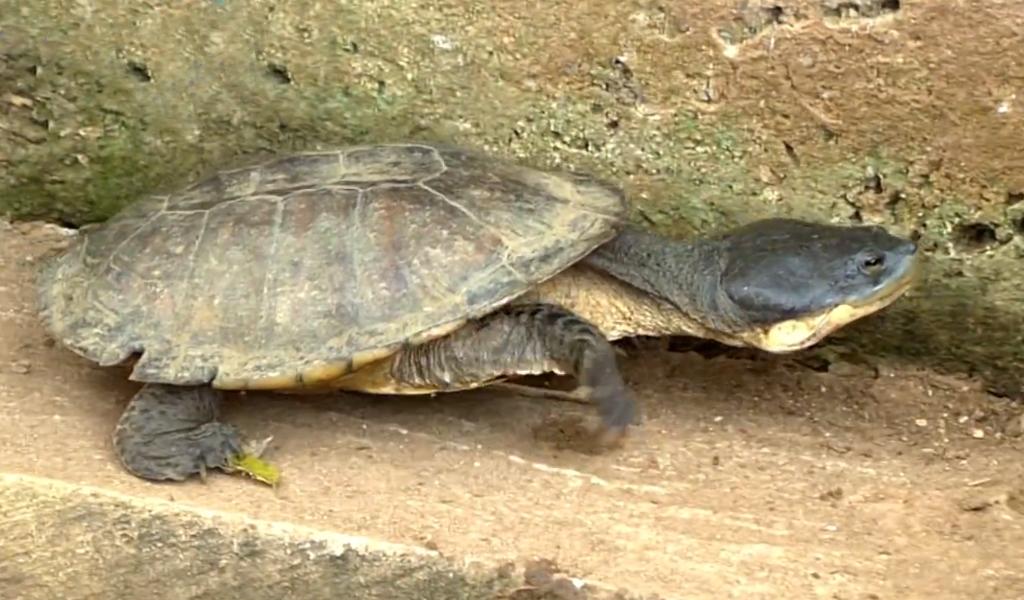 Tortuga del Caribe se encuentra bajo amenaza