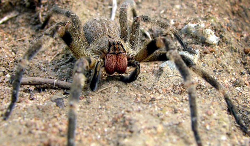 La supuesta araña bananera que generó alarma en Bello