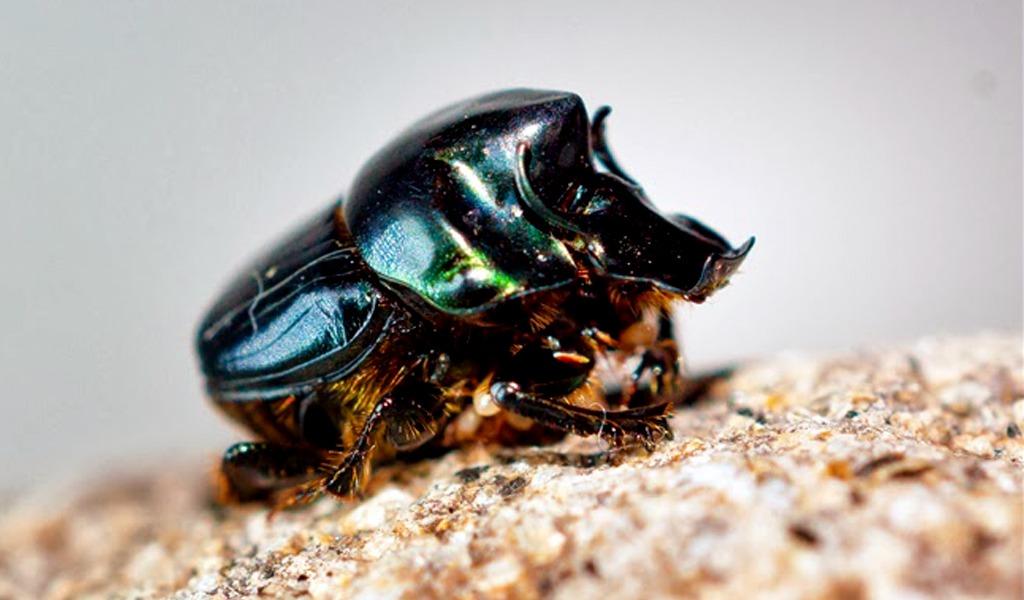 Al escarabajo estercolero le afectan químicos de la ganadería