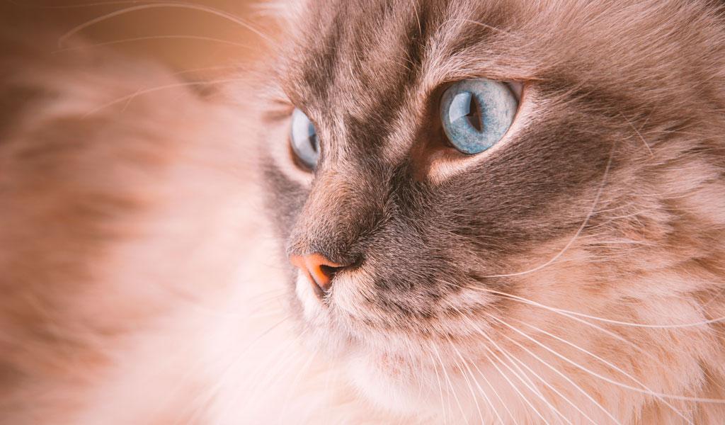 ¿Por qué los gatos con ojos azules tienden a ser sordos?