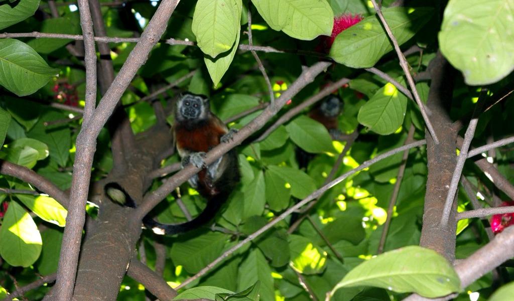 Monos tití estrenan puente para fauna en Medellín