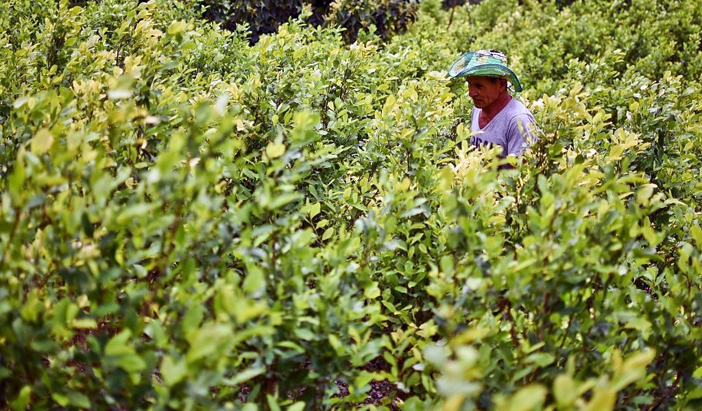 En Antioquia se han erradicado 3.943 hectáreas de coca