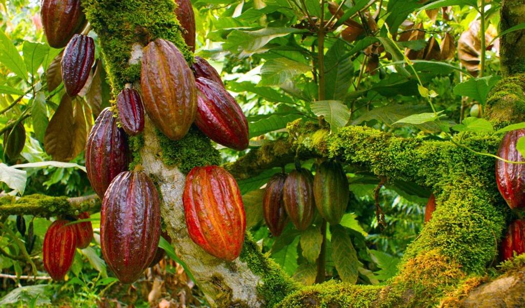 El cacao, una alternativa para la sustitución de cultivos