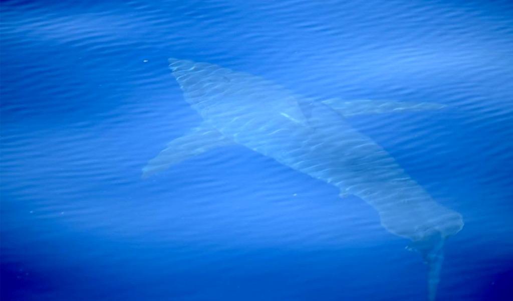 Tiburón blanco fue visto en España luego de 30 años
