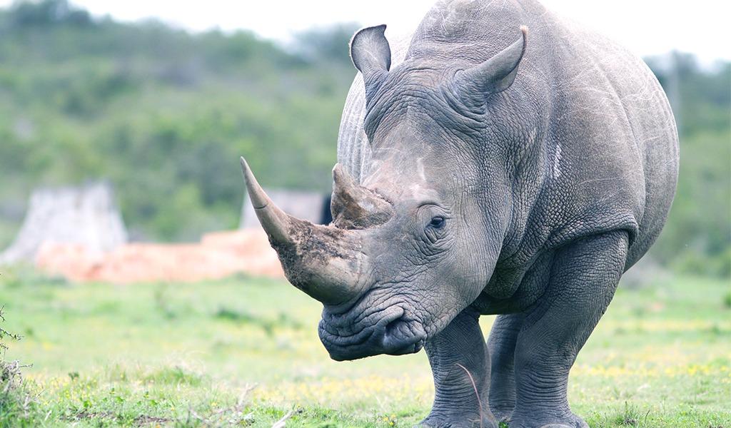 Aún hay esperanza de preservar al rinoceronte blanco