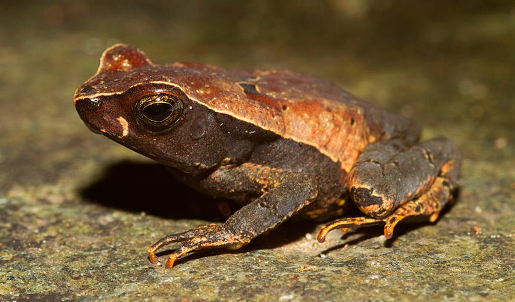 Redescubren anfibios en Colombia que creían extintos