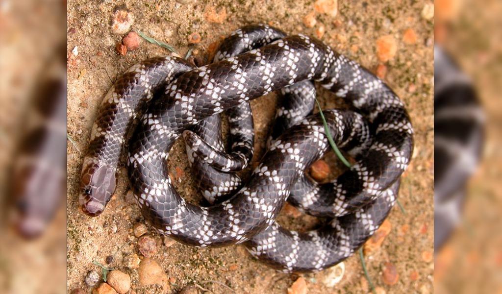Descubren nueva especie de serpiente venenosa en Australia