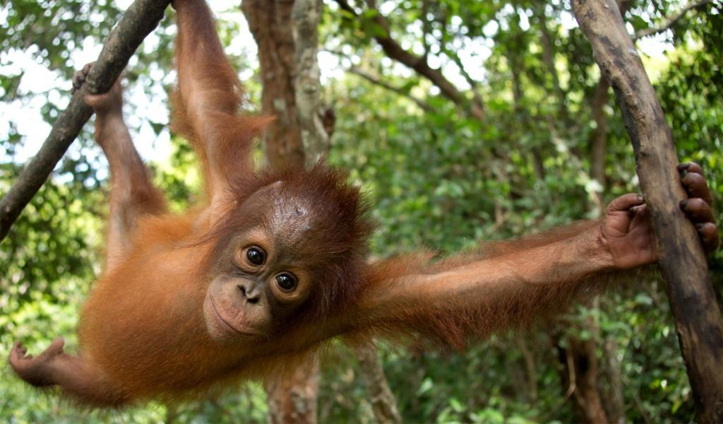 Sigue disminuyendo la población de orangutanes
