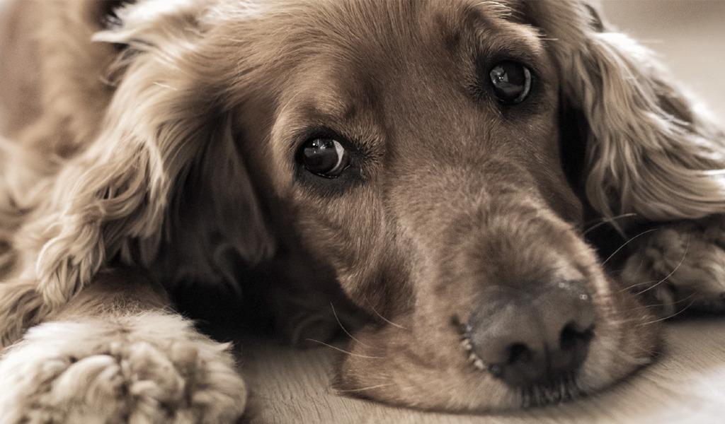 Cómo identificar si su perro necesita un psicólogo
