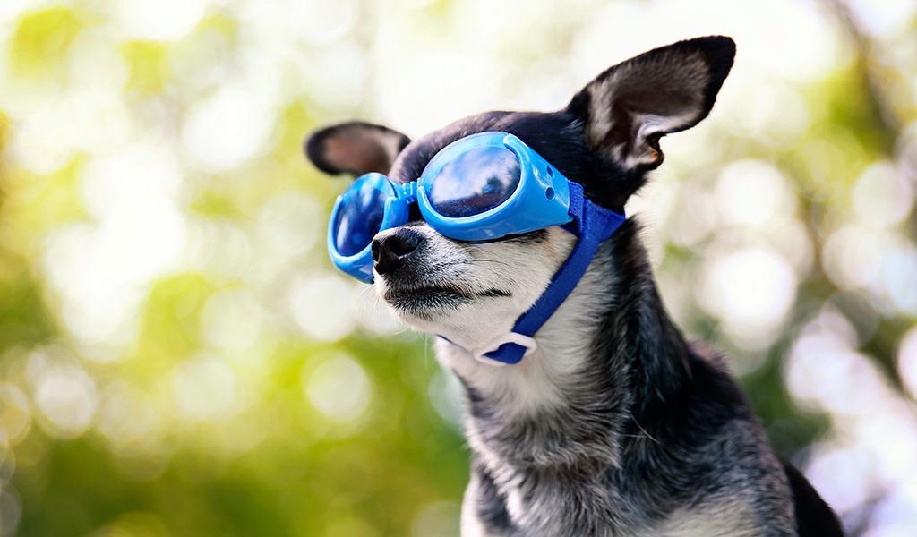 ¿Cuándo debo ponerle gafas a mi perro?