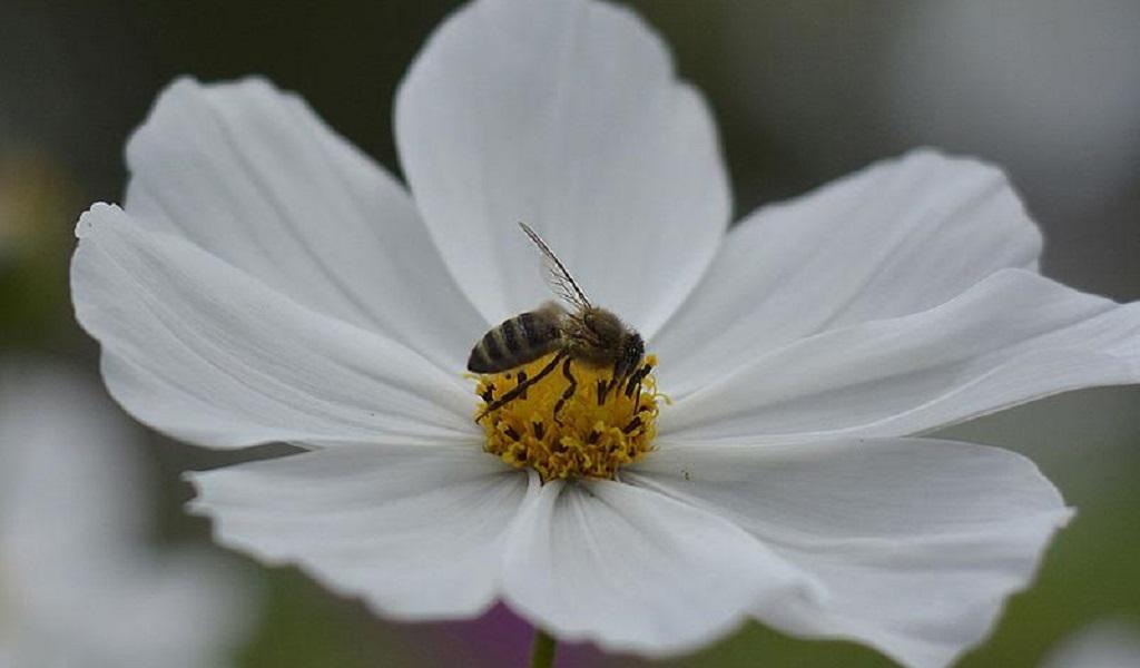 Poca variedad de plantas y plaguicidas está matando a las abejas