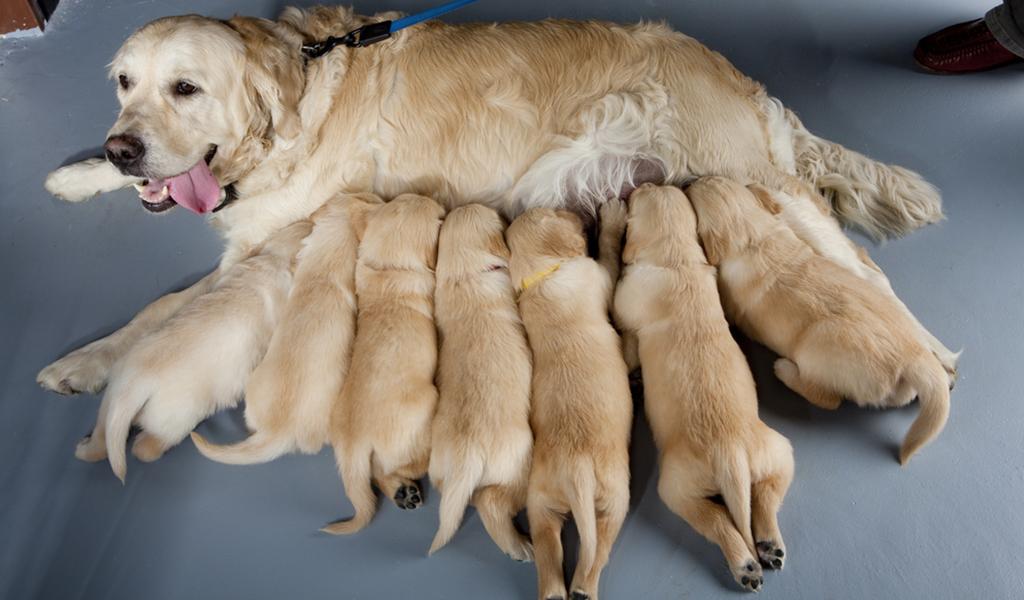La importancia de la lactancia en los cachorros