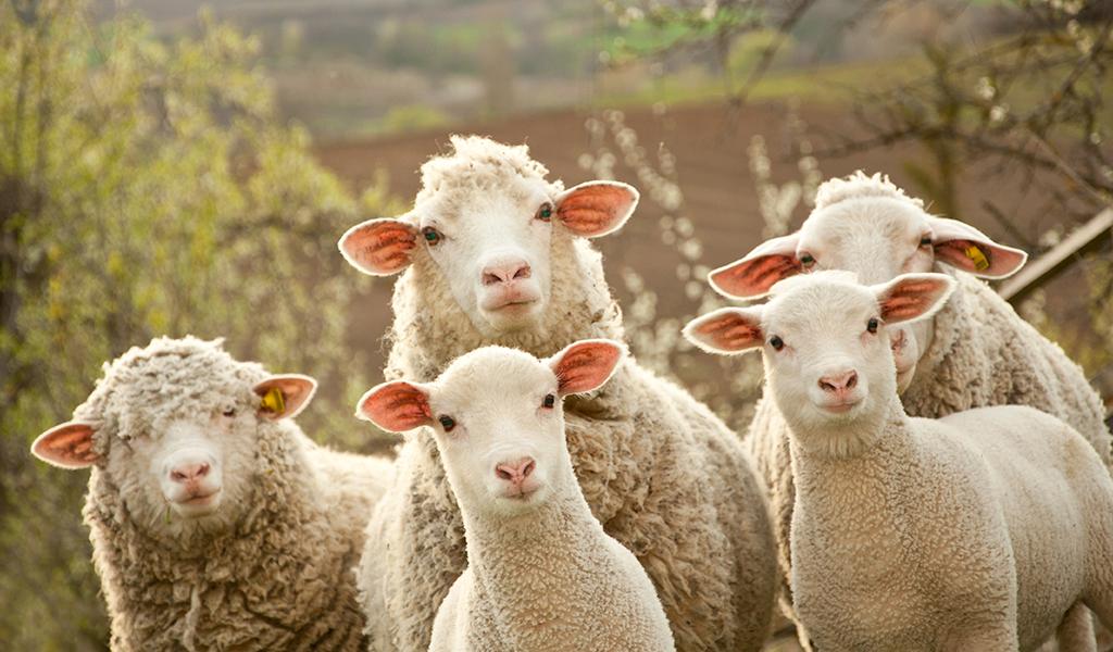 La domesticación de la oveja