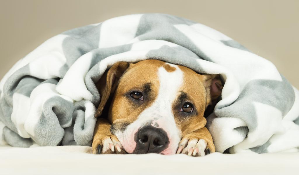 Todo lo que debe saber acerca de la anemia canina