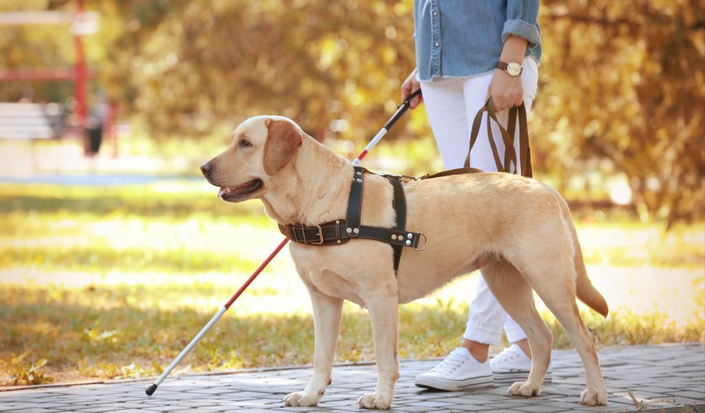 ¿Sabe qué son los perros guía y cómo obtener uno?