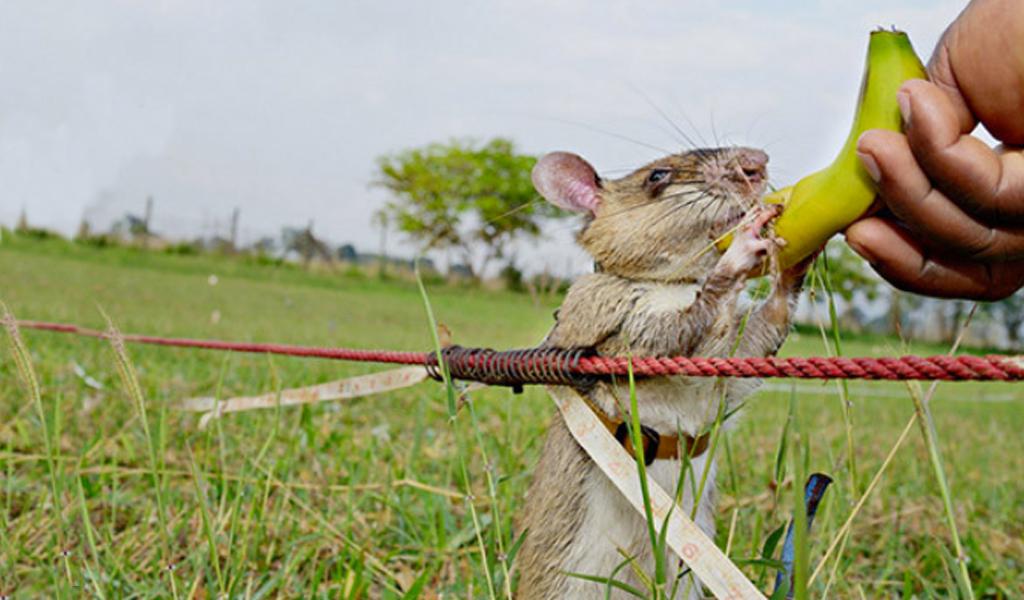 Las ratas que salvan hombres de las minas antipersonal