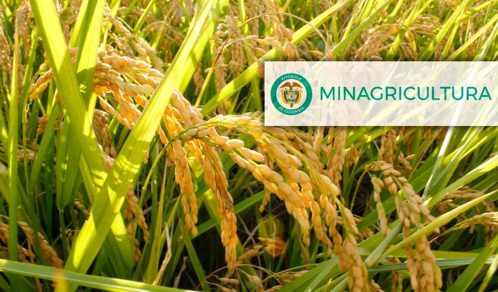MinAgricultura logró admisibilidad de arroz colombiano