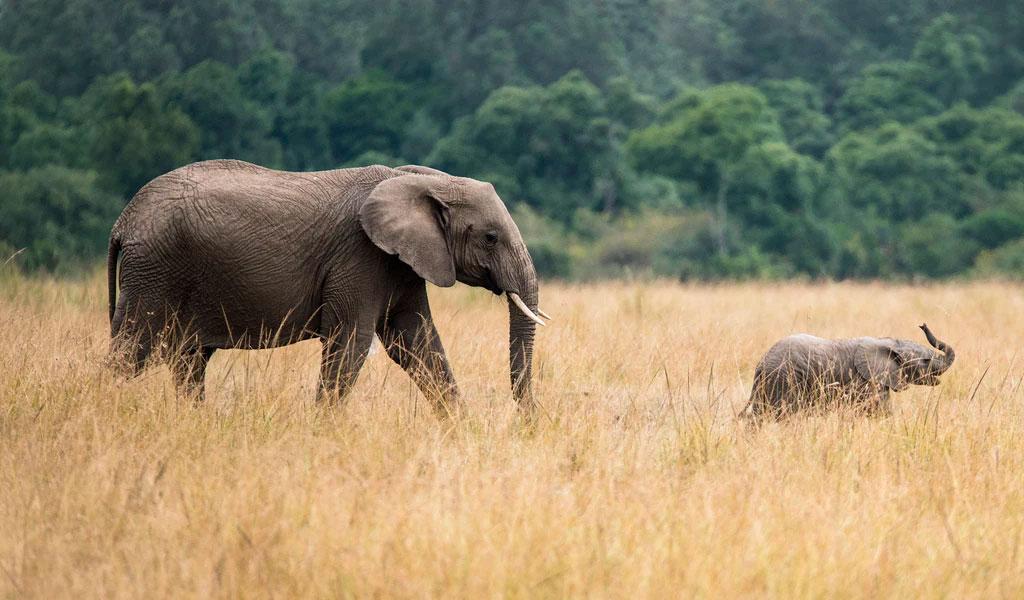 Muere uno de los elefantes más grandes del mundo