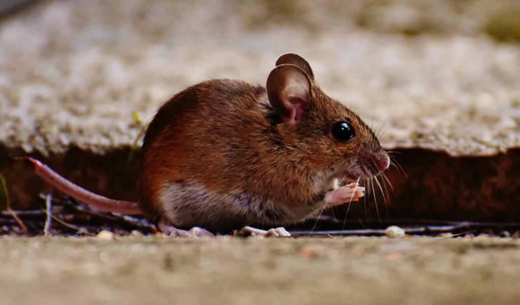 La 'personalidad' de los ratones