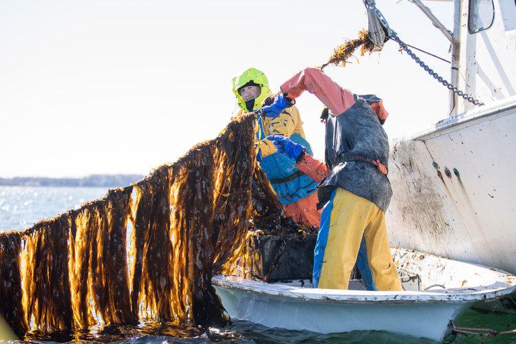 'Kelp', el superhéroe de las algas marinas